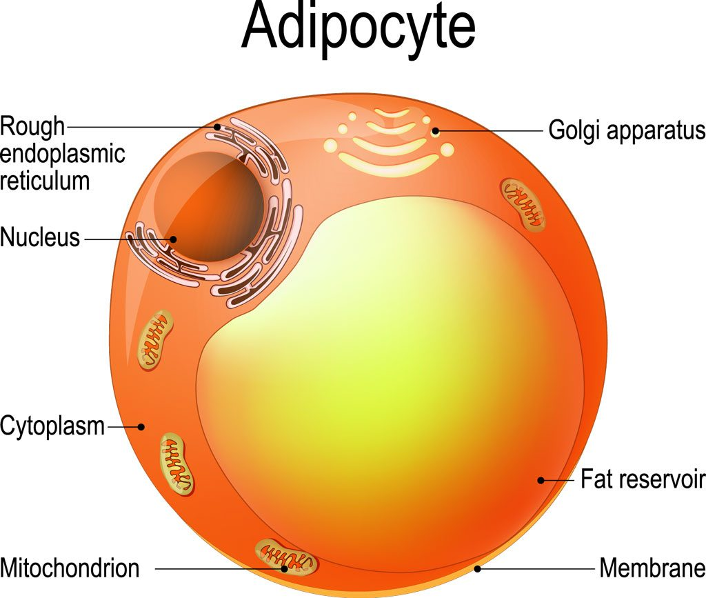 what is stored in fat cells